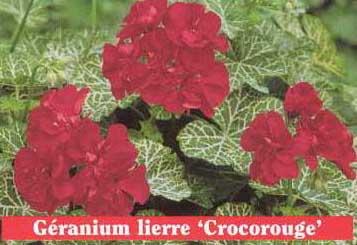 Pelargonium crocodile - Geranium feuilles qui jaunissent ...