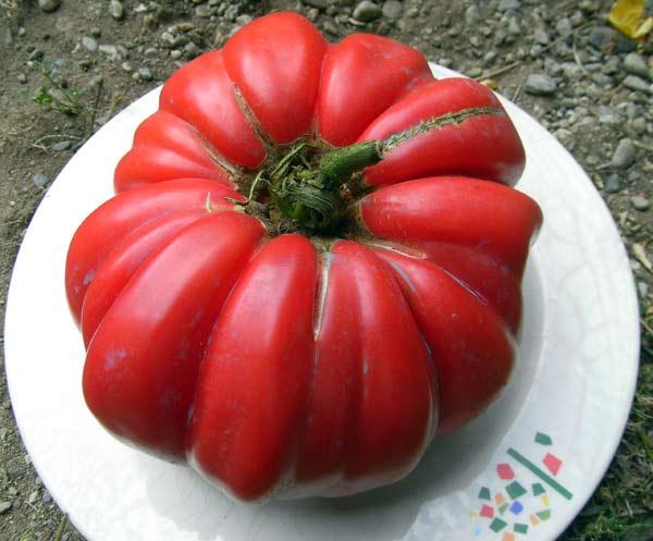 La tomate - Espace entre les pieds de tomates ...