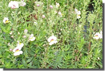 Plante retombante plein soleil cheap plante retombante - Plante retombante plein soleil ...