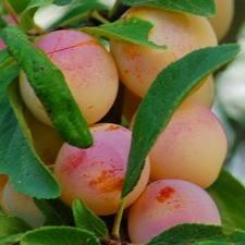 Plants pruniers - Prunier mirabelle de nancy ...