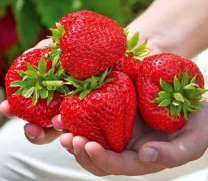 plants de fraisiers remontants trouvez le meilleur prix sur voir avant d 39 acheter. Black Bedroom Furniture Sets. Home Design Ideas