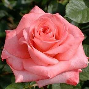 nos productions de rosiers buissons grosses fleurs